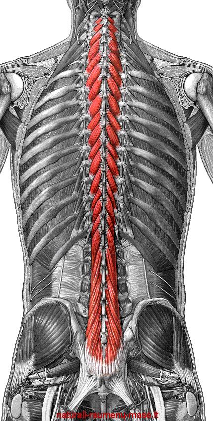 Lumbar paraspinal muscles anatomy